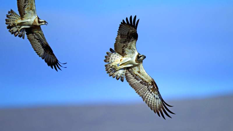 Ospreys In Rutland