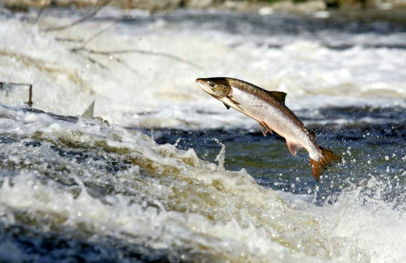 Leaping Salmon In Scotland