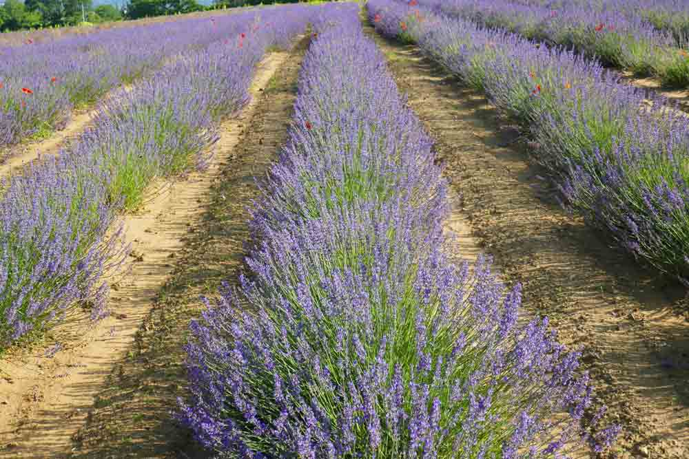 Image of lavender fields in France