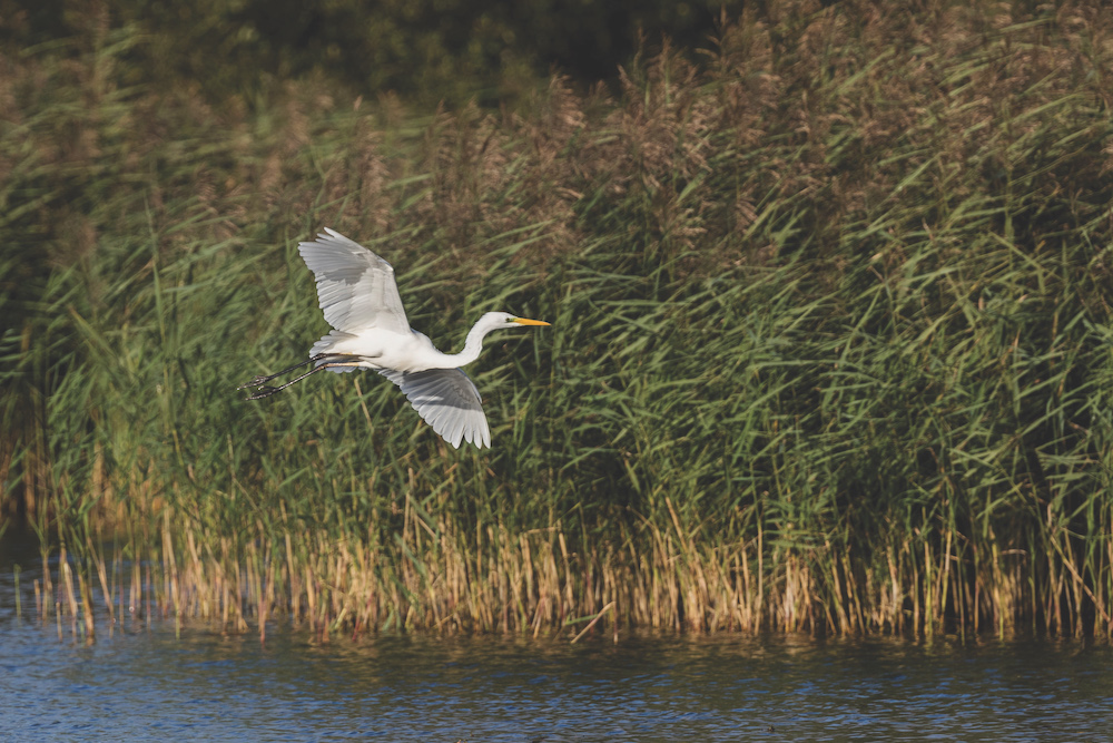 Great egrets now breed at Burton Mere and can be seen there all year round