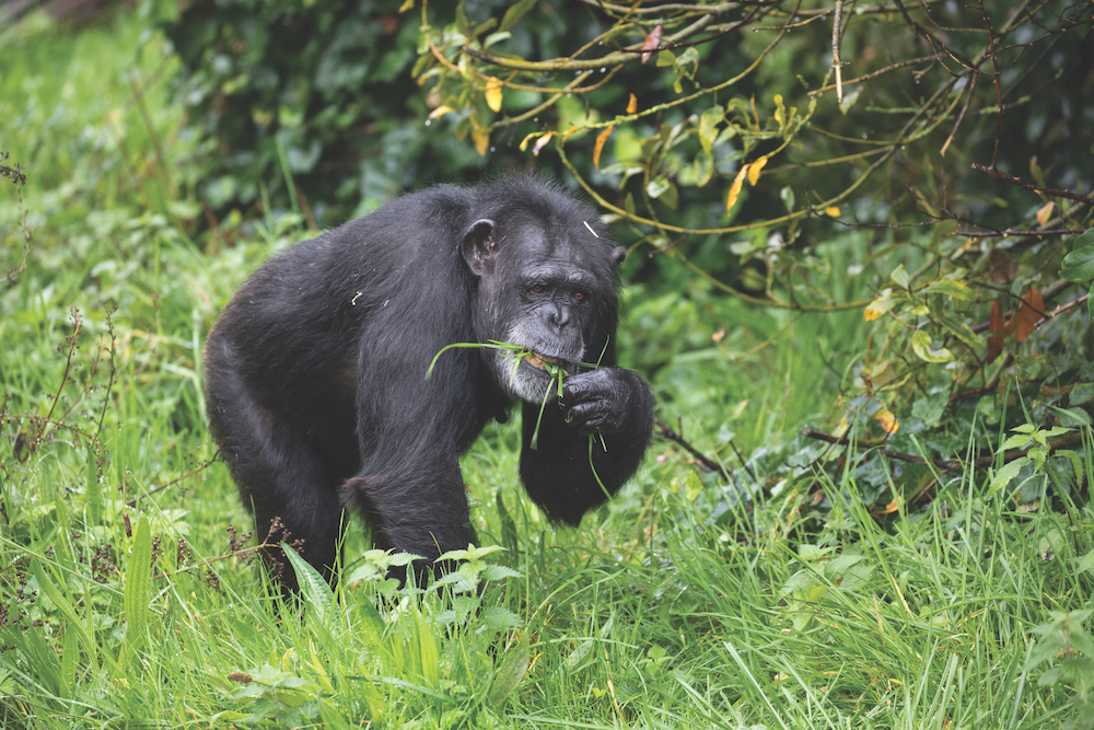 A chimpanzee at Chester Zoo