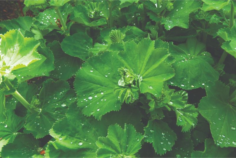 Alchemilla mollis with droplets of water on the leaves
